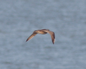 The only in-focus Whimbrel shot